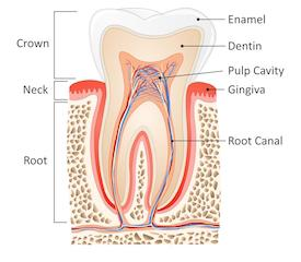 Garden Springs Dental | Root Canals