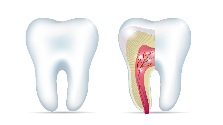 Showing Inside of Teeth | Gentle Root Canals & Restorations in Lexington